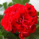 Оригинал Egrow 100 PCS Герань Семена Редкий Bonsai Flower Семена Главная страница Сад Многолетнее горшок Растение