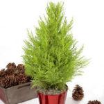 Оригинал Egrow 50 PCS Italian Cypress Tree Семена Cupressus Sempervirens Главная Сад Посадка бонсай Семена