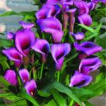 Оригинал Egrow 50 PCS Calla Lily Семена Сад Балкон горшечный многолетний цветок Семена Бонсай Айви Цветы