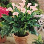 Оригинал Egrow 50 PCS Calla Lily Семена Tropic Beautifying Plants Сад Цветы в горшках Многолетние лилии Семена