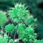 Оригинал Egrow 100 PCS Giant Allium Giganteum Globemaster Красивый цветок Семена Сад Растение Семенной бонсай горшок