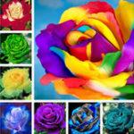Оригинал Egrow 100 шт Красочные Редкий Роза Семена Сад DIY Цветочные Бонсай Многолетние растения Семена