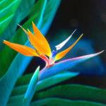 Оригинал Egrow 100PCS Strelitzia Bonsai Семена Цветок для цветов из цветов цветов Райский цвет для садоводства