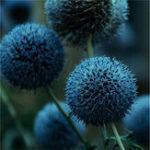 Оригинал Egrow 100 PCS Giant Лук Allium Giganteum Растение Семена Главная Сад Растениеs Цветной цветочный семя