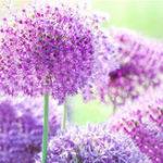 Оригинал Egrow 100 PCS Giant Allium Giganteum Flower Семена Красивый Сад Courtyard Bonsai Растение Семя