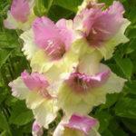 Оригинал Egrow 100 PCS Gladiolus Flower Семена Редкий Меч Лилия Цветы Двор Сад Горшок Растение