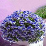 Оригинал Egrow 100 PCS Geranium Seed Сад Горшечный цветок Семена Многолетний балкон во внутреннем дворе На открытом воздухе Растение