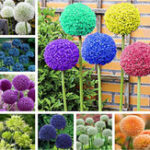 Оригинал Egrow 100 PCS Сад На открытом воздухе Giant Allium Giganteum Красивый цветок Семена Бонсай Растение Семена
