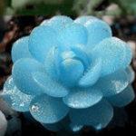 Оригинал Egrow 100 PCS Blue Lithops Многолетник Pseudotruncatella Семена Кианит Суккулент Сад Семена растений