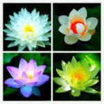 Оригинал Egrow Lotus Flower Семена Водные растения Bonsai Lotus Семена Многолетние растения для дома Сад