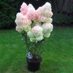 Оригинал Egrow 20Pcs гортензия цветок семена ваниль клубника Семена для На открытом воздухе Главная Посадка Бонсай
