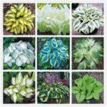 Оригинал Egrow 100Pcs Посадочный цветок Лилии Семена Зеленый Желтый Хоста растений Семена Сад Многолетний завод