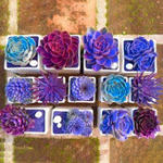Оригинал Egrow 200PCS Echeverione Суккулент Семена Смешанный цвет Сад Горшечное семя цветов Home Deco Bonsai