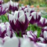 Оригинал Egrow 10Pcs Многолетние духи Тюльпан Семя смешанного цвета Тюльпан Цветочный Бонсай Семена На открытом воздухе Посадка