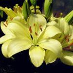 Оригинал Egrow 100PCS Lily Семена Растения крытый бонсай парфюм лилия семена лилии цветок семена Для Сад Главная