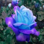Оригинал Egrow 100 шт. Полуночная высшая роза Семена Горшечное семя фиолетового розы Семена для домашней посадки