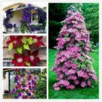 Оригинал Egrow 100Pcs Clematis Flower Семена Многолетние виноградные лозы Clematis Растение Семя Сад Украшение