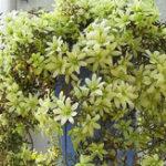 Оригинал Egrow 100Pcs Цветок клематиса Семена Многолетник Растение Сад Украшение виноградников Восхождение на семена клематиса