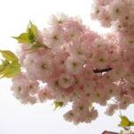 Оригинал Egrow 10Pcs Японский сакура Семена Розовый Растения Вишневые цветы Цветок Бонсай Горшечное дерево сакуры