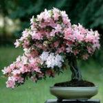 Оригинал Egrow 10Pcs Sakura Flower Семена Розовый Черри Блоссом Дерево Бонсай Растения Сад Редкий Многолетние посадки