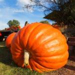 Оригинал Egrow 10Pcs / Pack Giant Pumpkin Seed Big Squash Декоративное основание Растительное семя Хэллоуин Украшение