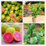 Оригинал Egrow 30 шт. / Шт. Гуава Семена Тропические сладкие фруктовые деревья Растения Семена для Сад Балкон Двор