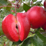 Оригинал Egrow 50 Pca / Pack Red-Fleshed Apple Семена Redlove Apple Fruit Tree Seed Сад Посадка