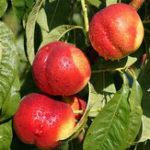 Оригинал Egrow 10 шт / пакет сладкое персиковое семя садоводство Dwawf персиковое дерево бонсай фруктовый персик Семена растения