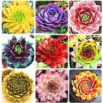 Оригинал Egrow 100Pcs / Сумка Sempervivum Семена Colorful Садоводство Суккулент Растение Семена цветов