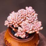 Оригинал Egrow 100Pcs / Pack Японские суккуленты Семена Цвет смешивания Home & Сад Растения из цветковых растений Bonsai Flower Potted Seed
