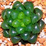Оригинал Egrow 100Pcs / Pack Lotus Lithops Succulent Семена Pseudotruncatella Сад Растения Цветочные семена бонсай