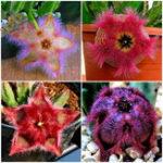 Оригинал Egrow 100Pcs / Pack Stapelia Pulchella Семена Colorful Кактус Литос Бонсай Сад Внутренние растения