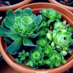 Оригинал Egrow 100Pcs / Pack Greenovia Flowers Семена Зеленая гора Роза Суккулентные растения Бонсай Семена