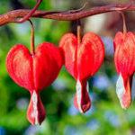 Оригинал Egrow 100Pcs / Pack Dicentra Spectabilis Семена Редкий Orchid Bleeding Сердце Сад Растения Семена