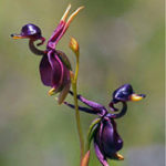Оригинал Egrow 100Pcs / Pack Caleana Major Flying Duck Orchid Семена Сад Горшечный декор Цветы Растения Семена