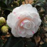Оригинал Egrow 10Pcs / Pack Цветы камелии Семена Горшечные растения Главная Сад Украшения Цветок Семена