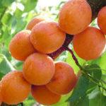 Оригинал Egrow 2Pcs / Pack Абрикосовое дерево Семена Сад Зеленые растения сада с фруктовыми деревьями Семена