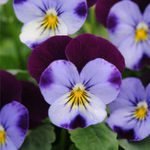 Оригинал Egrow 100Pcs / Pack Синий Фиолетовый Viola Семена Сад Groundcover Annual Flower Семена