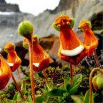 Оригинал Egrow 30Pcs / Pack Calceolaria Uniflora Flower Семена Редкий Альпийская растительность Семена