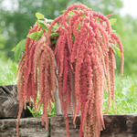 Оригинал Egrow 200Pcs / Pack Amaranthus Семена Сад Home Coral Fountain Decoration Plants Цветы Семена