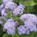 Оригинал Egrow 20Pcs / Pack Ageratum Семена Сад Courtyard Annual Blue Purple Beautify Цветы Растения Семена