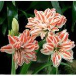 Оригинал Egrow 50Pcs / Pack Rainbow Lily Семена Горшечный бонсай Растение Лили цветок Семена для дома Сад