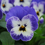 Оригинал Egrow 100Pcs / Pack Viola Семена Red Blue Сад Многолетние растения Декоративный цветок Семена