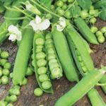Оригинал Egrow 20Pcs / Pack Sweet Pea Семена Многоцелевое морозоустойчивое Сад Сельскохозяйственные овощные растения Семена