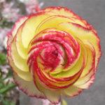 Оригинал Egrow 50Pcs / Pack Ranunculus Семена Главная Сад DIY Декоративные растения Bonsai Flower Семена