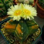 Оригинал Egrow 10Pcs / Pack Желтый сердечник Кактус Семена Mini Green Суккулентные растения бонсай Семена