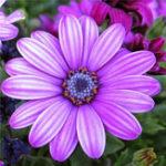 Оригинал Egrow 30Pcs / Pack White Purple Miracle Daisy Семена Mix Colours Bonsai Растения Декоративная душа Семена