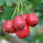 Оригинал Egrow 20Pcs / Pack Hawthorn Семена Кислое дерево фруктов Семена Главная Сад Посадка бонсай