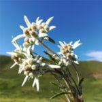 Оригинал Egrow 10Pcs / Pack Белый цветок Эдельвейс Семена Растения бонсай для дома Сад Двор На открытом воздухе Цветы