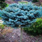Оригинал Egrow 50Pcs / Pack Синяя ель Семена Evergreen Picea Pungens Glauca Сад Растение Дерево Семена